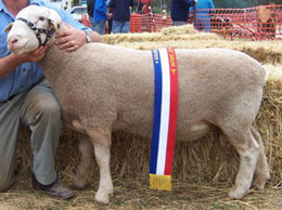 highlight almondvale white suffolk and bond sheep stud